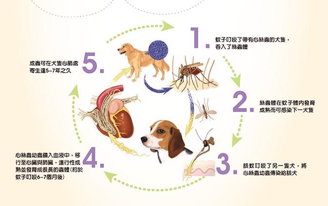 狗狗感染心絲蟲過程
