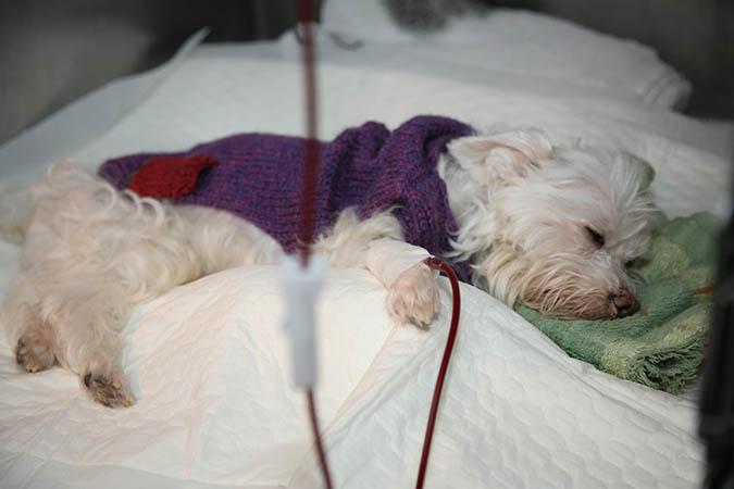 狗狗的血型比人類要複雜許多,在捐、輸血作業上