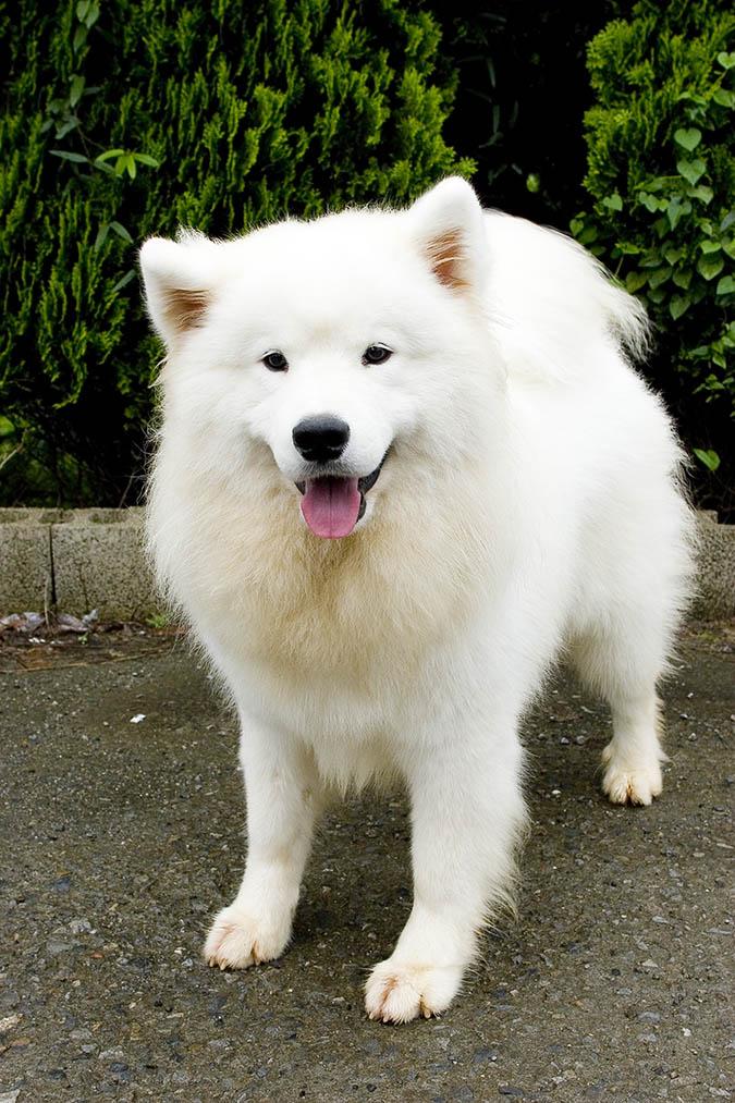 因品種及基因關係,某些品種的狗狗血液較具封閉