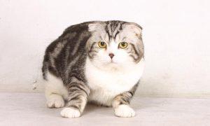大家所說的哆啦a夢-蘇格蘭摺耳貓scottish-fold