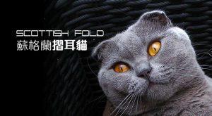 大家所說的哆啦a夢-蘇格蘭摺耳貓scottish-fold675x372