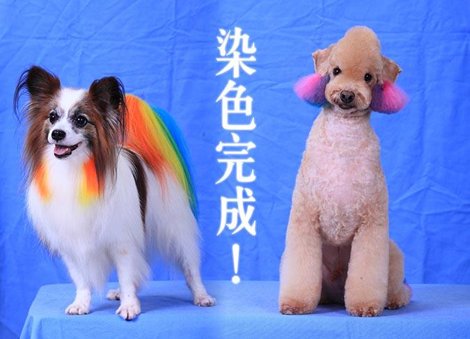 狗狗也能換髮色-染色完成