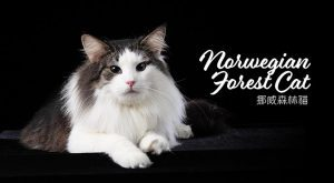 挪威森林貓norwegian-forest-cat-675x372