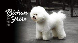 比熊犬bichon-frise-675x372