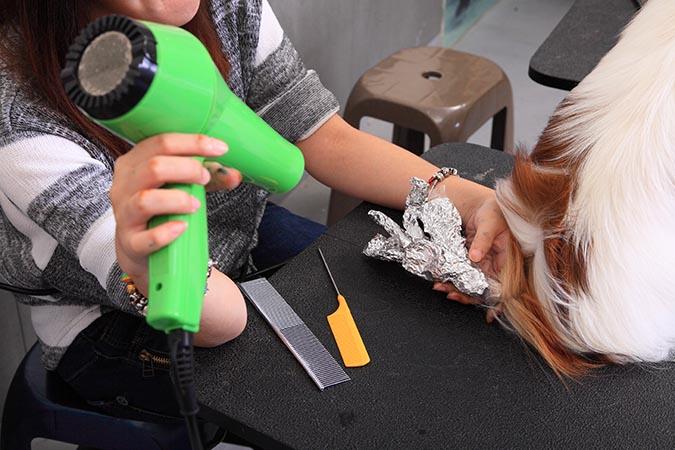 狗狗也能換髮色-使用吹風機加熱8431