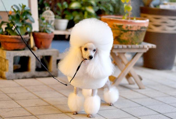 玩具貴賓犬-toy-poodle-8161