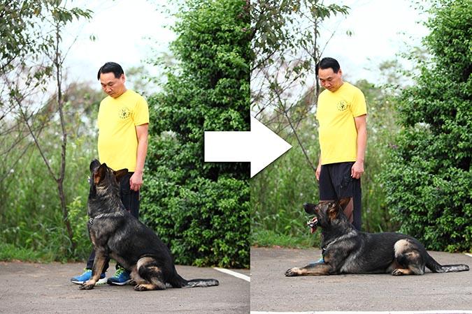 訓練qa亞洲訓犬王的教育心法-趴下