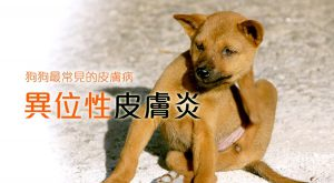 狗狗最常見的皮膚病:異位性皮膚炎675x372