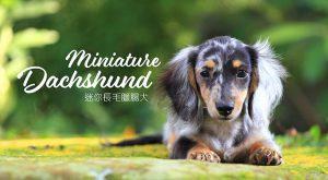 迷你長毛臘腸犬miniature-dachshund-675x372