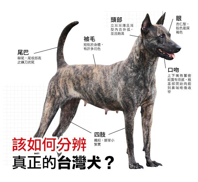 該如何分辨真正的台灣犬