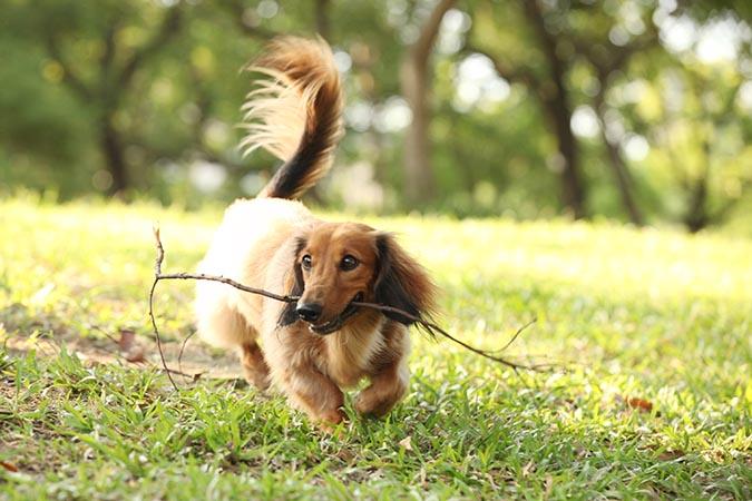 臘腸狗咬樹枝