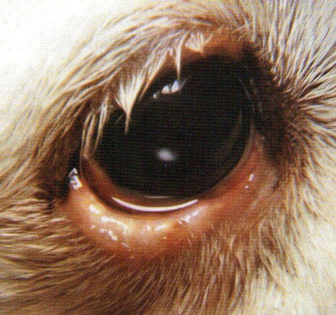 下眼瞼因為內麥粒腫(針眼),所以有明顯腫脹