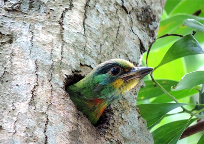 中興林場裡的生物資源豐富,圖為五色鳥。