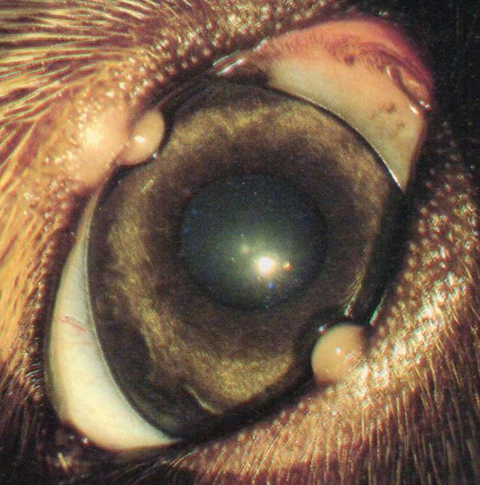 犬眼瞼霰粒腫外觀可見黃白色的腫大