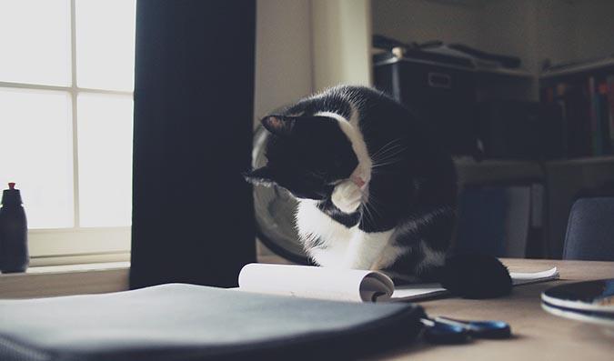 貓舔自己貓抓眼睛