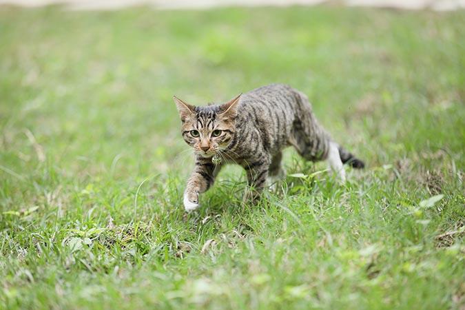 現代家貓(felis-catus)