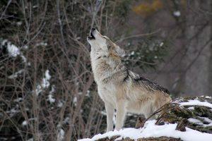 wolf-狼叫狗叫吹狗螺