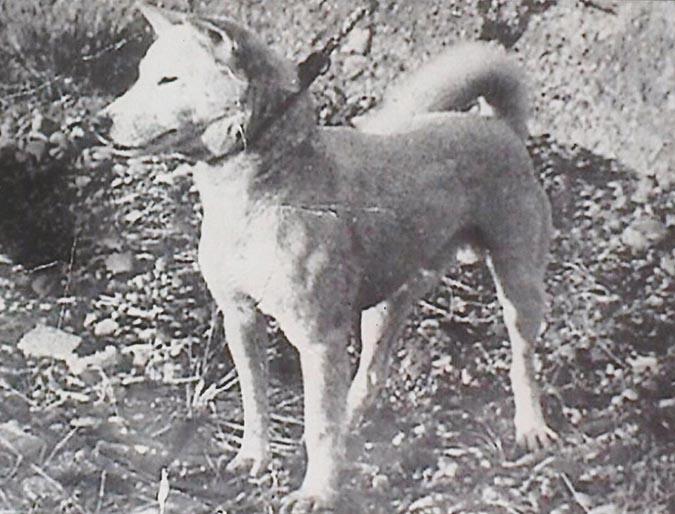 古代柴犬funpeer-com
