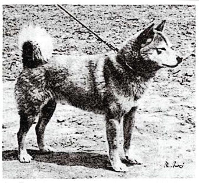 古代柴犬geocities-jp