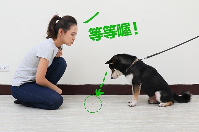 柴犬等待訓練-02