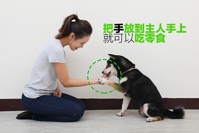柴犬-握手訓練83