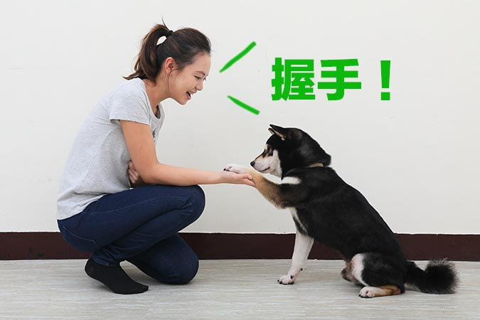 柴犬-握手訓練97