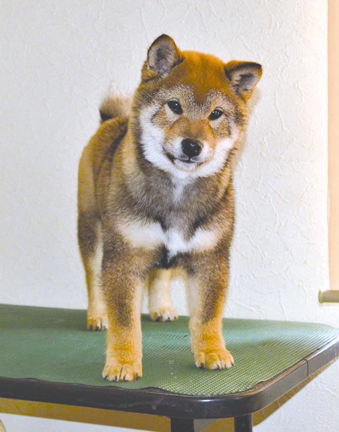 柴犬幼犬-札幌加我莊-提供5