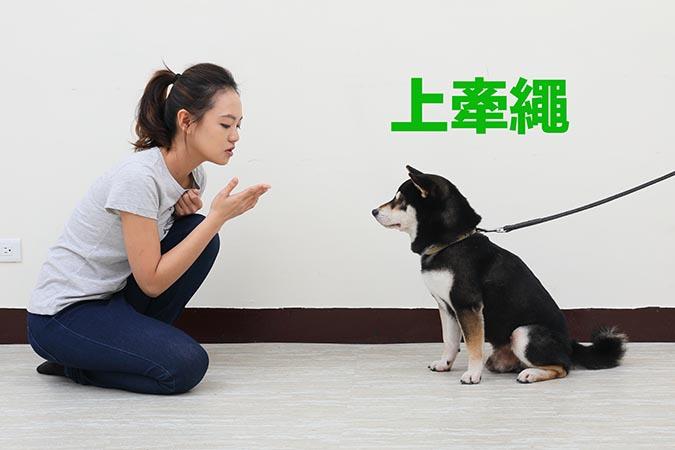 柴犬等待訓練-01