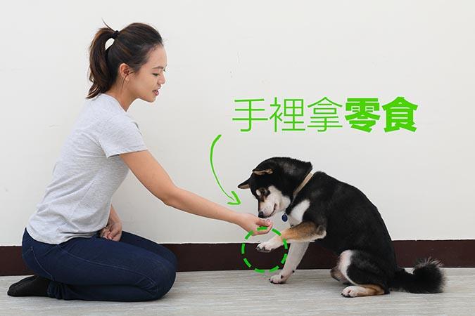 柴犬-握手訓練80