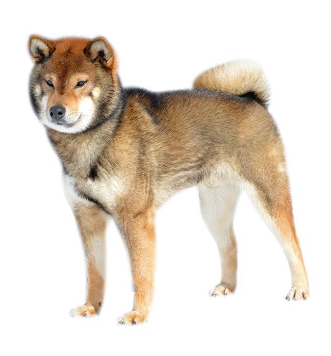 柴犬-胡麻色