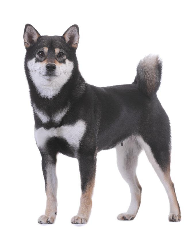 柴犬-黑色