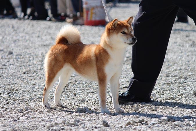 2013在日本拿下全國展最高賞的柴犬1