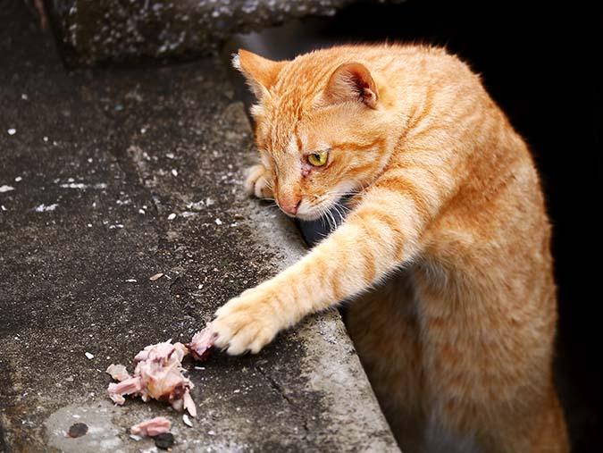 貓飲食迷思top10-1