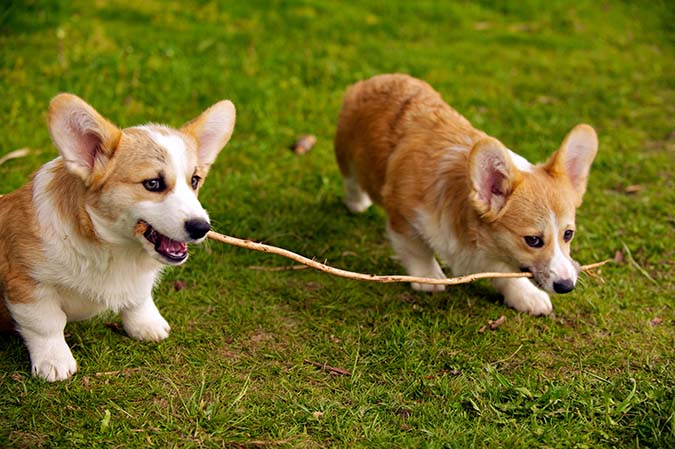 welsh-corgi-1