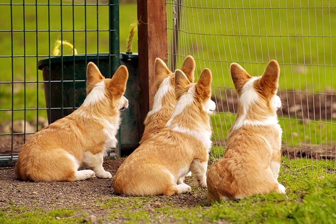 welsh-corgi-4