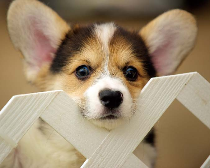 welsh-corgi-6