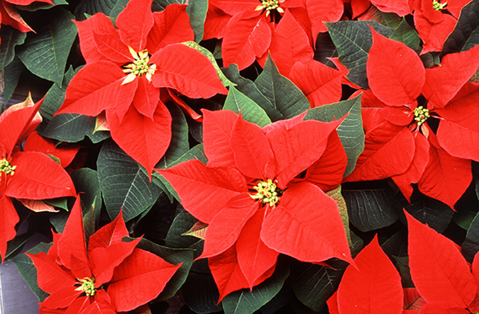 t only is poinsettia the most popular Christmas plant, it is the number-one flowering potted plant in the united states, even though its traditional sales period is just 6 weeks. That was not the case back in 1976, when ARS first began its program to improve the flower's dependability. This meant discovering the exact conditions of light and temperature the plant requires. they also performed breeding experiments that defined how color develops, and they devised precision growing methods that enabled massive cultivation. Last year, the wholesale value of the poinsettia crop reached nearly $170 million-a jump of more than 400 percent from 1976. The poinsettia, a contemporary symbol of Christmas, was introduced to the United States and named after Joel Robert Poinsett in 1825. Poinsett was serving as the first U.S. ambassador to Mexico when he saw the plant growing on the hillsides of southern Mexico, where the plant is native. The Aztec Indians prized poinsettias and considered them a symbol of purity because of their brilliant red color. They made a reddish-purple dye from the colored