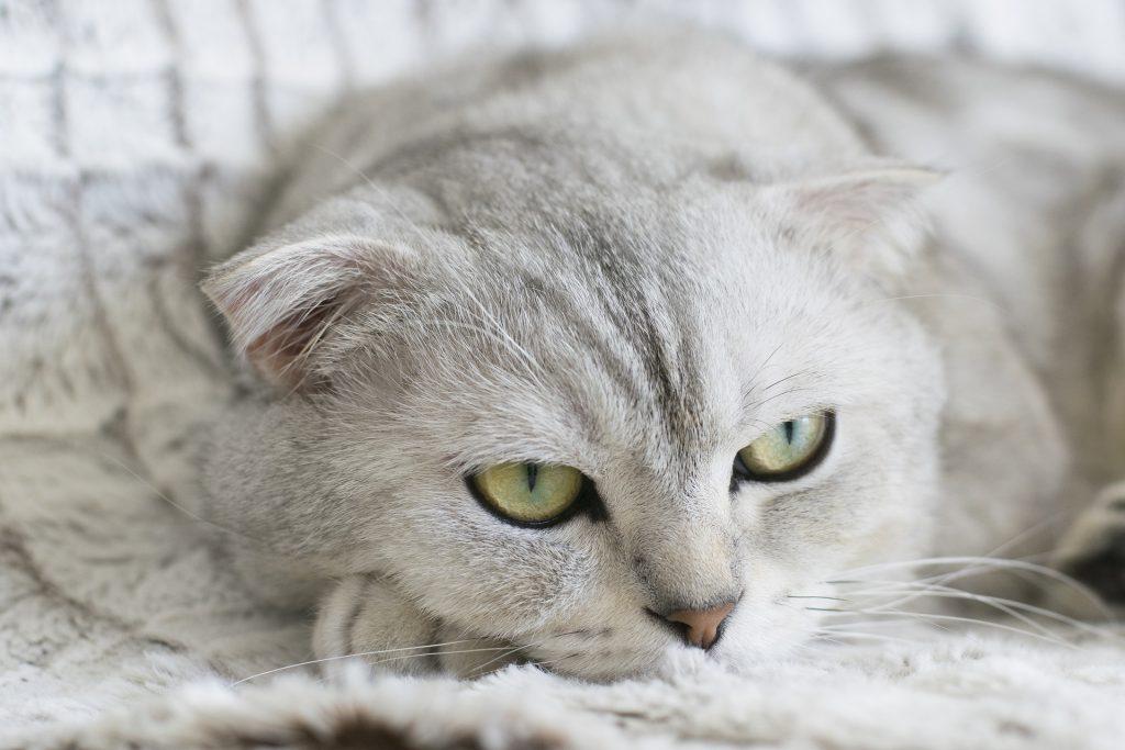 蘇格蘭摺耳貓有骨軟骨發育不全的基因問題,發生關節疾病機率大於其他貓種。
