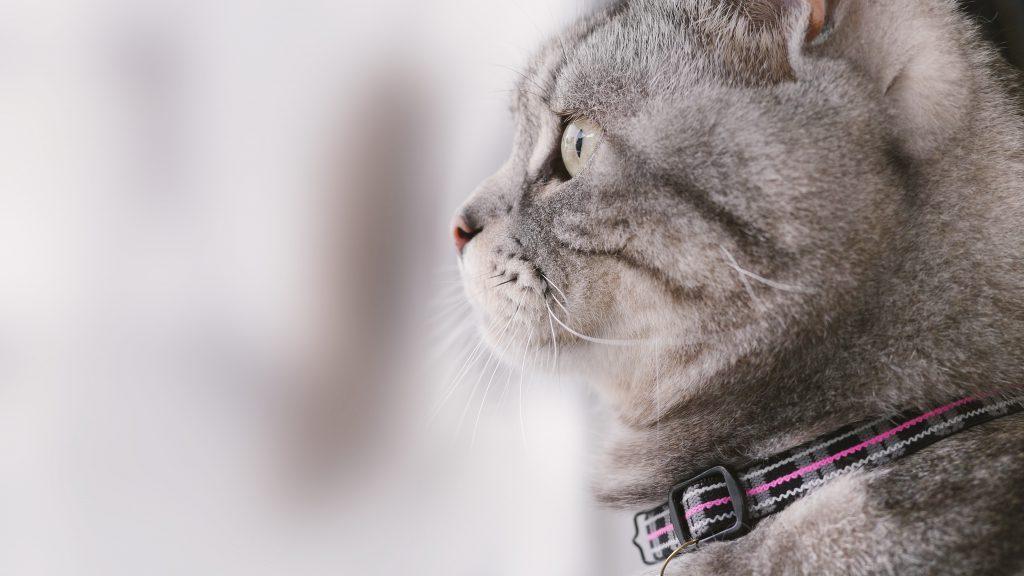肥胖貓也是關節疾病好發族群之一。