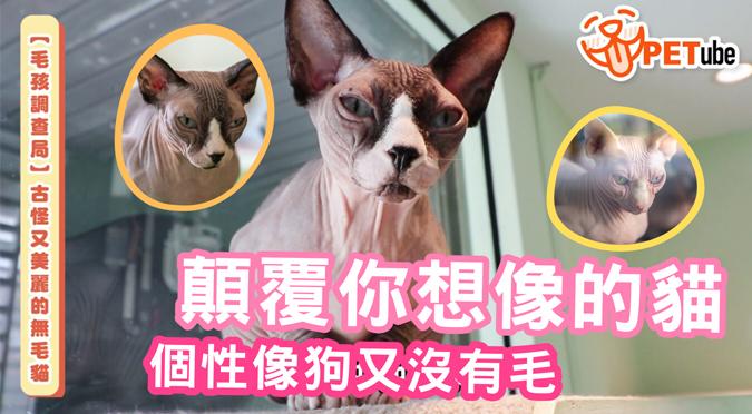 哈寵PETube-No.125 古怪又美麗的無毛貓