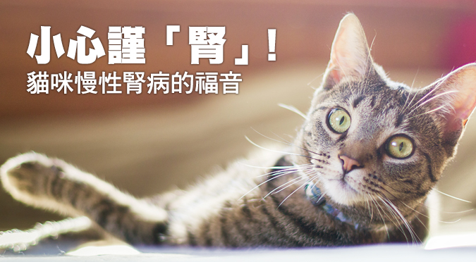 小心謹「腎」!貓咪慢性腎病的福音