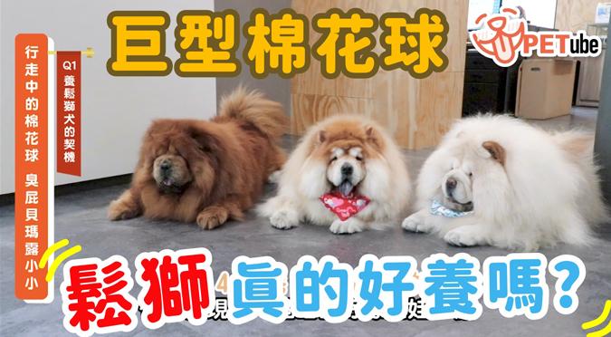 哈寵PETube-No.130 行走中的棉花球(feat.臭屁貝瑪露小小)