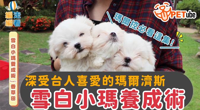 哈寵PETube-No.136 雪白小瑪養成術(feat.香草田)