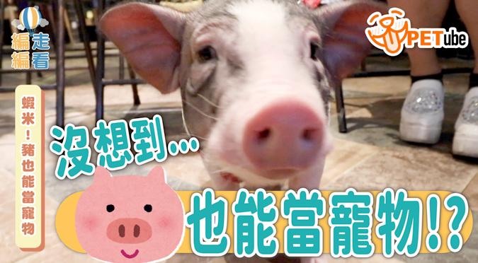 哈寵PETube-No.148 蝦米!豬也能當寵物?🐽