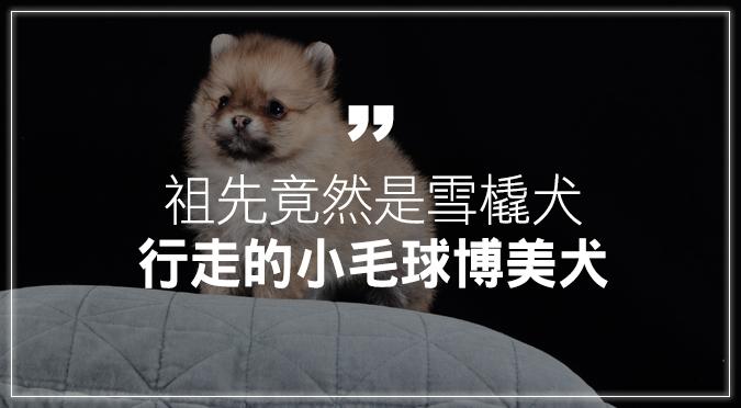 博美犬的祖先竟然是雪橇犬!人見人愛的行走小毛球