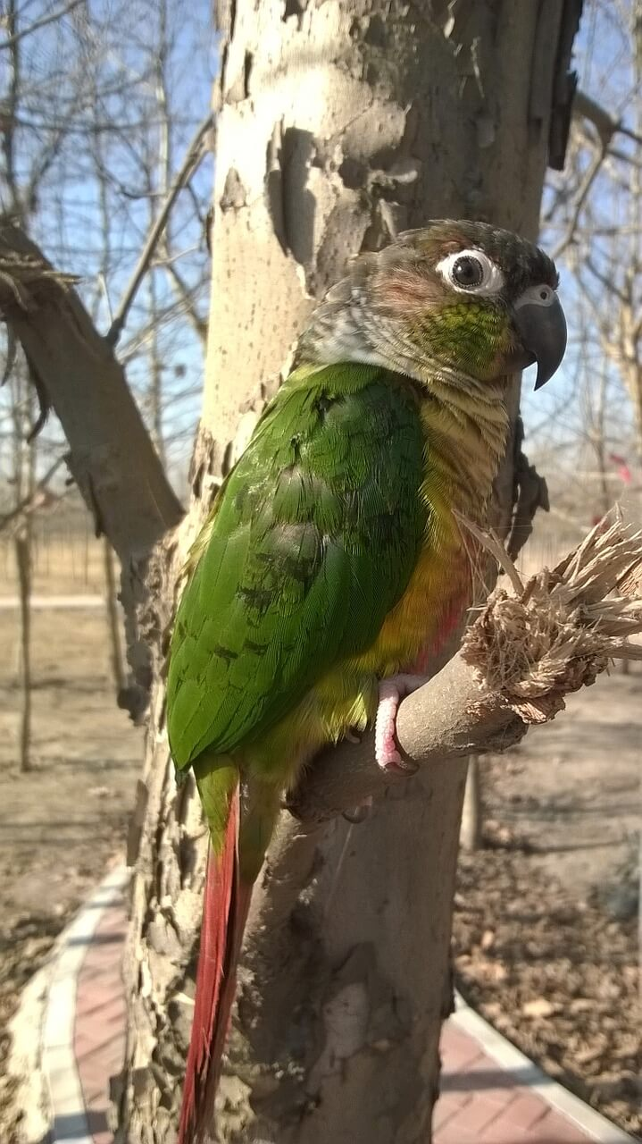 小太陽鸚鵡