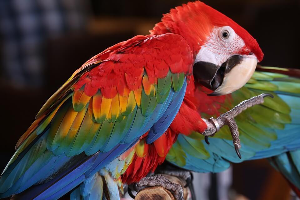 挑選健康的鸚鵡可以從眼睛、爪子、羽毛、叫聲⋯⋯等基本外觀加上生理狀況評估