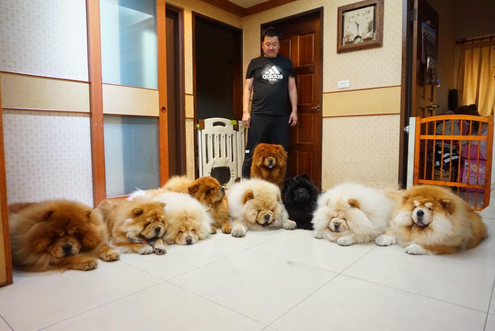 在掌握飼養訣竅後,9隻鬆獅犬的大家庭不再只是神話