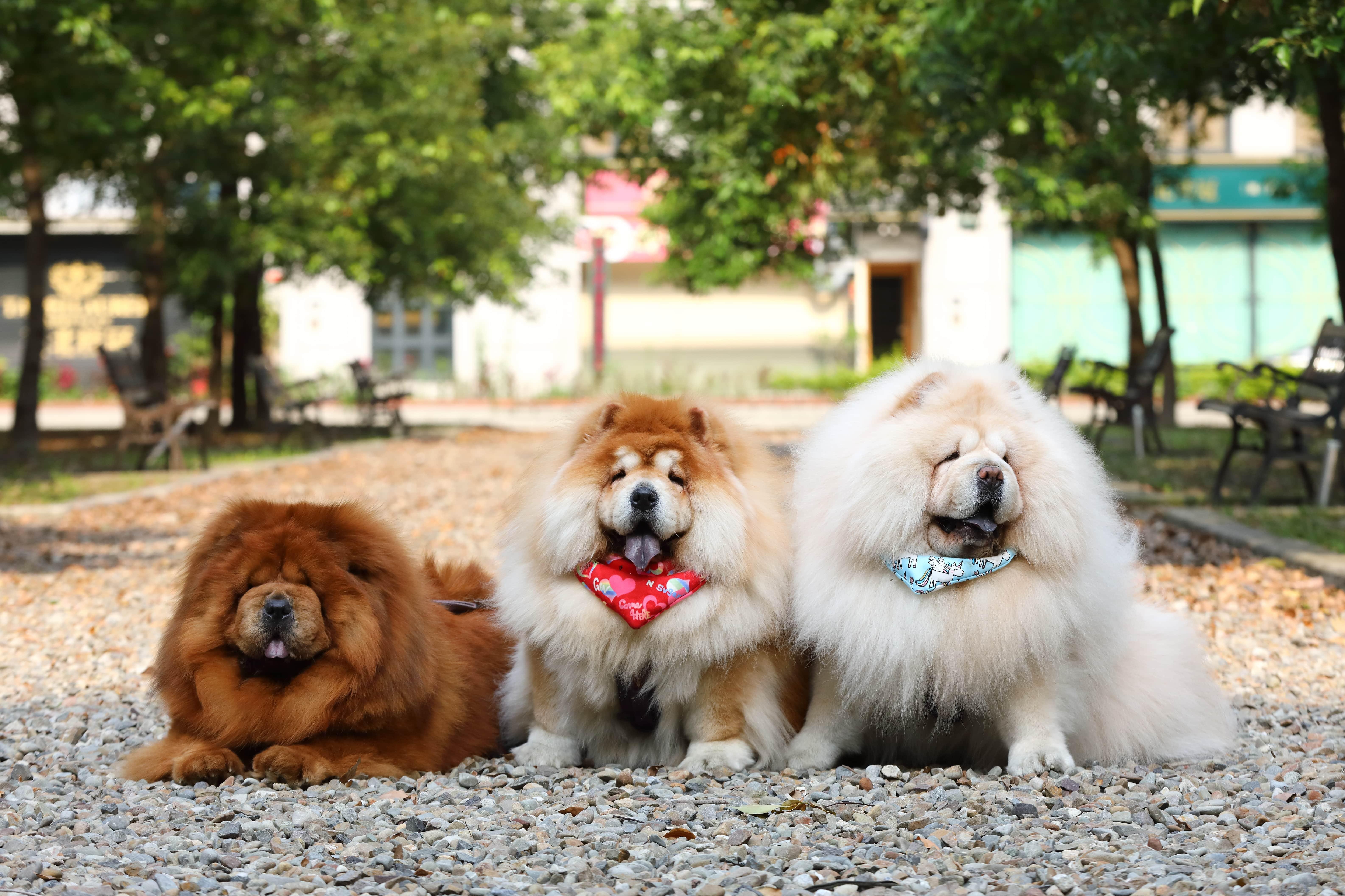 對於天生怕熱的鬆獅犬,夏天的散步時間點需要仔細拿捏