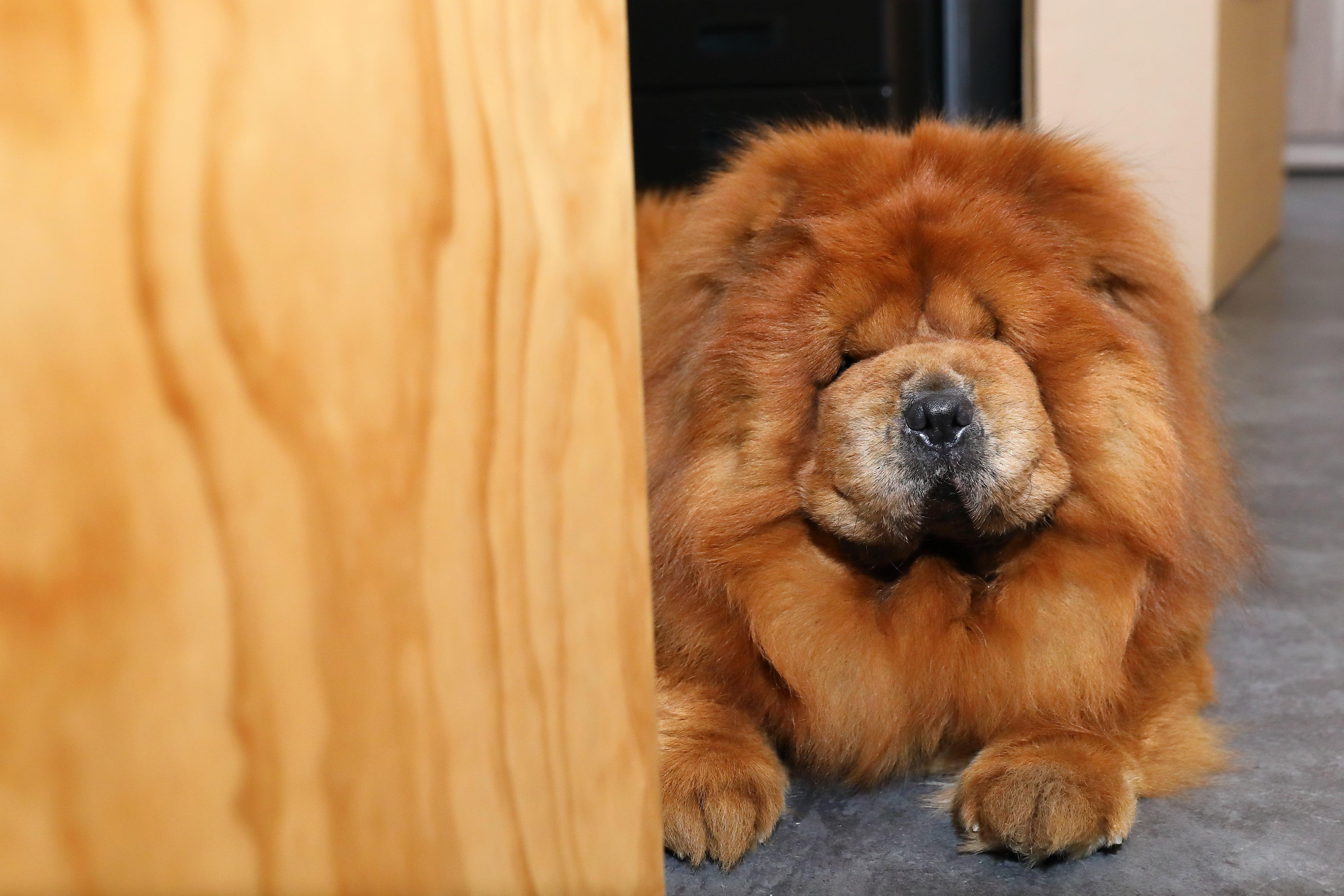 鬆獅犬有著碩大的體型、豐厚的被毛,常被誤解為兇狠、易怒、不好照顧的犬種